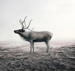 Alice Zilberberg: Calm Caribou
