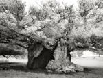 Beth Moon: Queen Elizabeth Oak