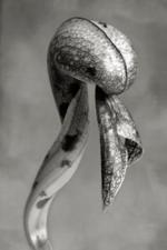 Beth Moon: Cobra Lily