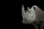 Brad Wilson: White Rhinoceros #1, Albuquerque, MN, 2013