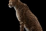 Brad Wilson: Cheetah #1, Los Angeles, CA, 2011