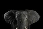 Brad Wilson: African Elephant #1, Los Angeles, CA, 2010