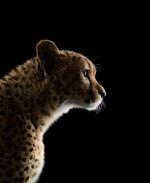 Brad Wilson: Cheetah #2, Los Angeles, CA, 2011