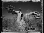 Elaine Ling: Baobab, Tree of Generations #27, 2010