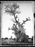 Elaine Ling: Baobab, Tree of Generations #6