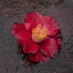 Hiroshi Watanabe: TDTDC 15 (Wet Camellia), 2011