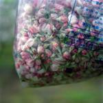 Jane Alden Stevens: Collected Blossoms, Spring, Aomori Prefecture