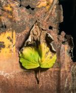 Jo Whaley: Leaf, 2016