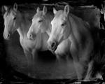 Keith Carter: Tres Blancos, 2014