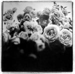 Keith Carter: Cordes Roses, 1998