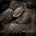 Kindred Spirits: Keith Carter – Tortoises, 2017