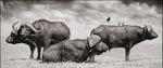 Nick Brandt: Buffalo Group Portrait, Amboseli, 2006