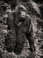 Nick Brandt: Gorilla on Rock, Parc des Volcans 2008
