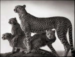 Nick Brandt: Cheetah and Cubs, Maasai Mara, 2003