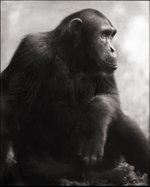 Nick Brandt: Chimpanzee Posing, Mahale, 2003