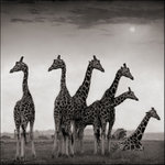 Nick Brandt: Giraffe Fan, Aberdares, 2001