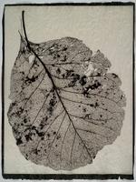 Susannah Hays: Skeletal Leaf (lace), 1998