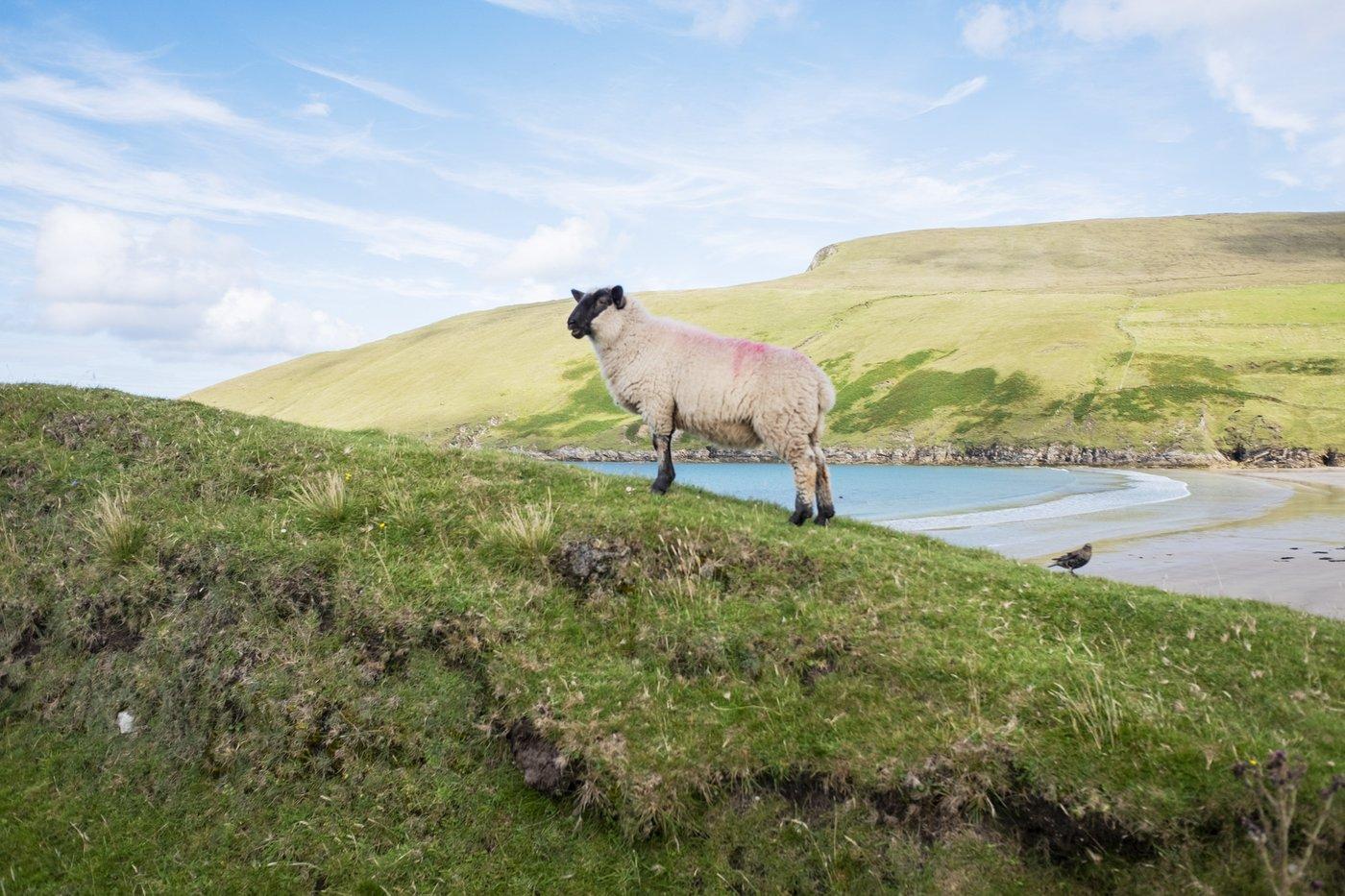 sheepprint
